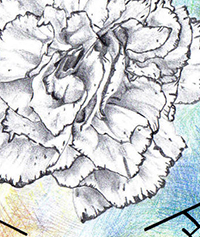 Sketch of a carnation